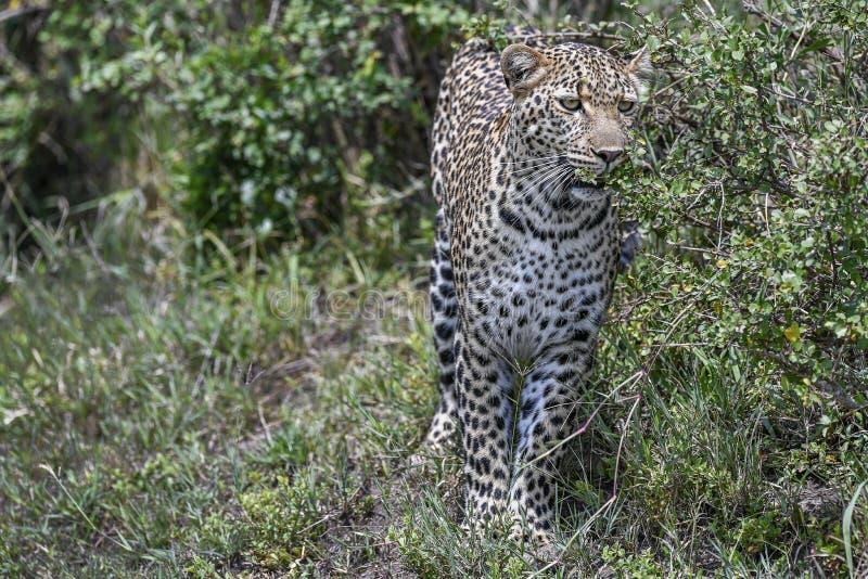 Leopardo en el Masai Mara imagen de archivo