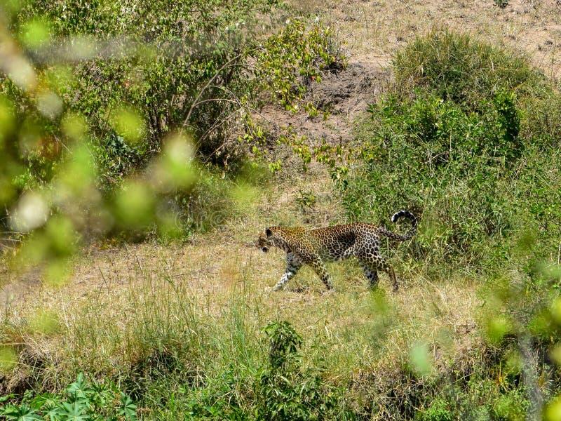 Leopardo en el Masai Mara, Kenia foto de archivo