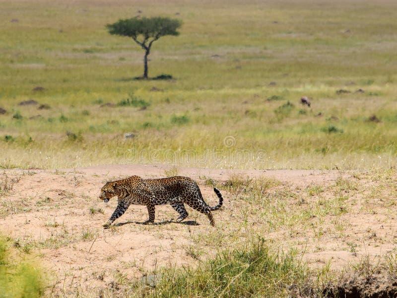 Leopardo en el Masai Mara, Kenia imagen de archivo