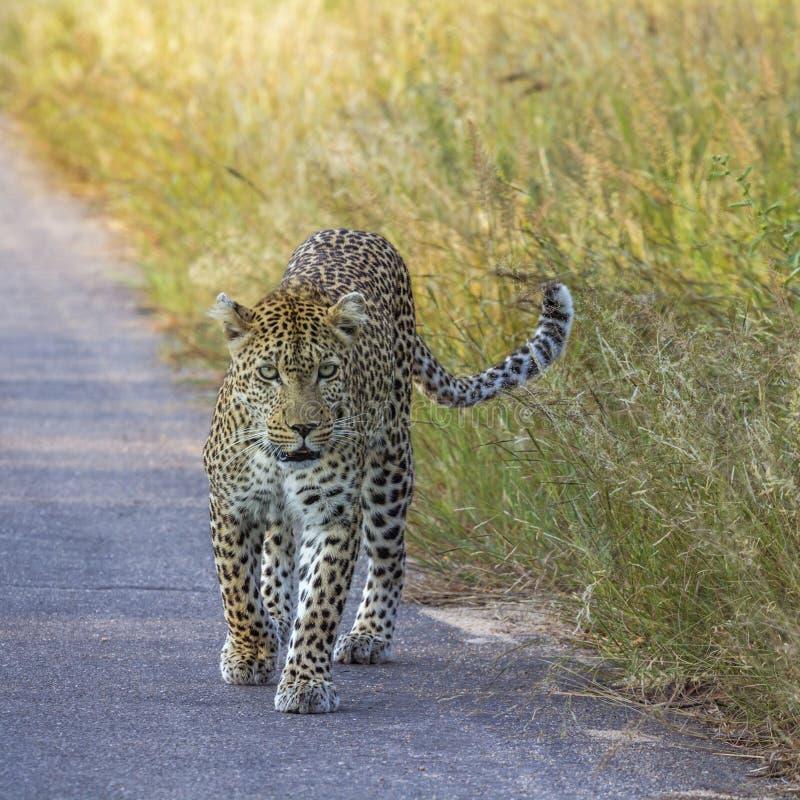 Leopardo en el parque nacional de Kruger, Sur?frica imagen de archivo libre de regalías