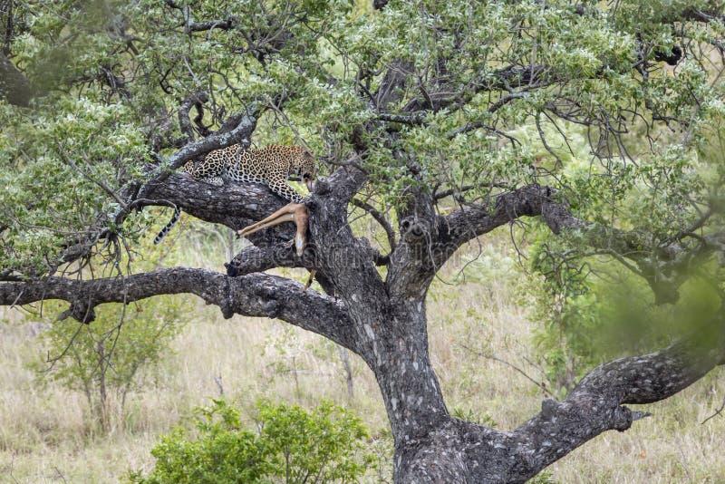 Leopardo en el parque nacional de Kruger, Sur?frica imágenes de archivo libres de regalías