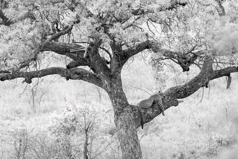 Leopardo en el parque nacional de Kruger, Sur?frica foto de archivo