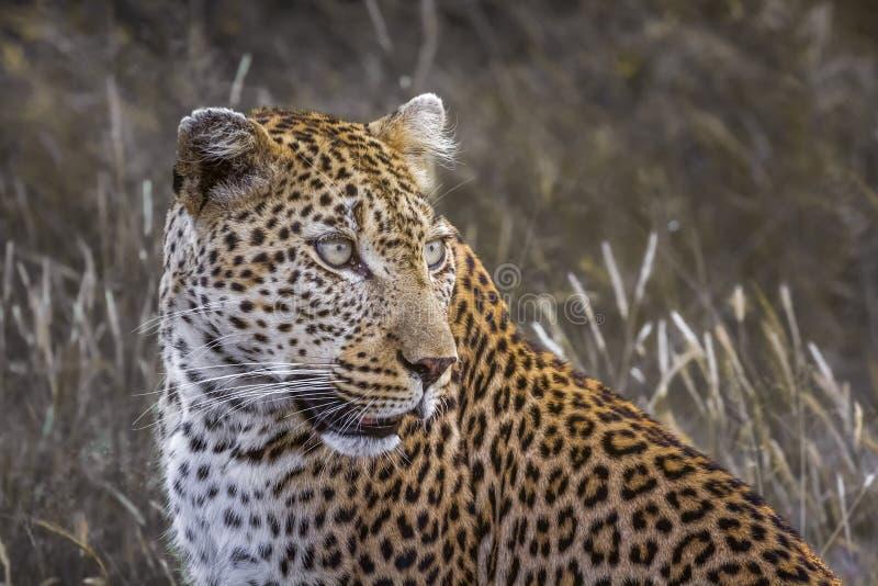 Leopardo en el parque nacional de Kruger, Sur?frica fotografía de archivo libre de regalías