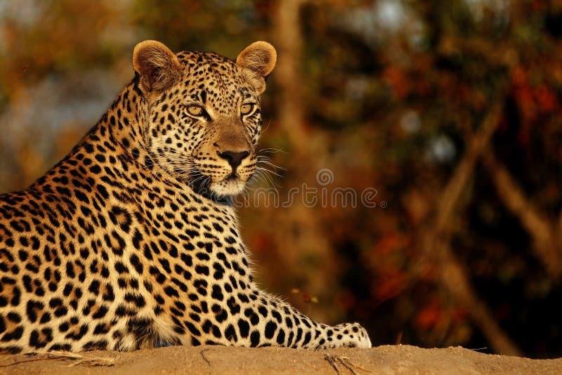 Leopardo en la puesta del sol foto de archivo