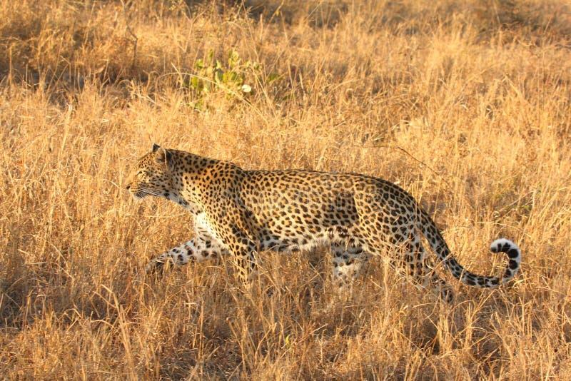 Leopardo en las arenas de Sabi fotografía de archivo libre de regalías