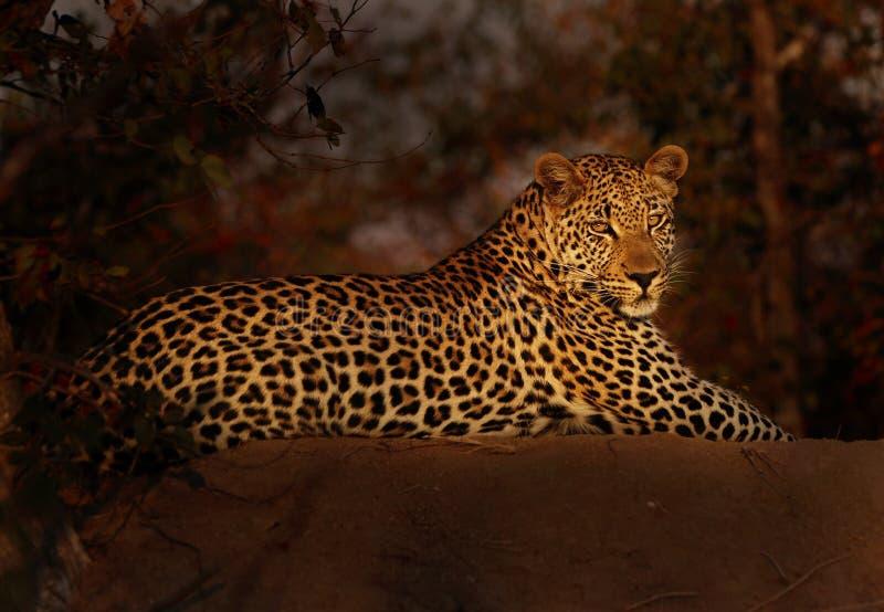 Leopardo en Lght pasado fotos de archivo