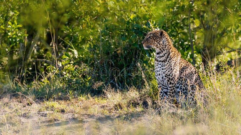 Leopardo en Masai Mara Kenya Africa fotografía de archivo