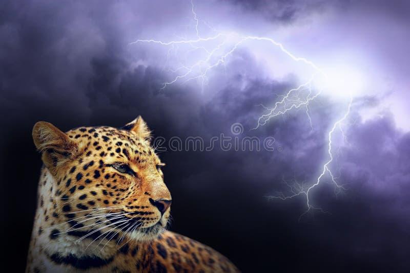 Leopardo en noche foto de archivo