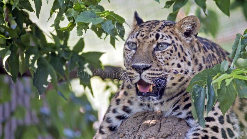 Leopardo en un árbol fotos de archivo