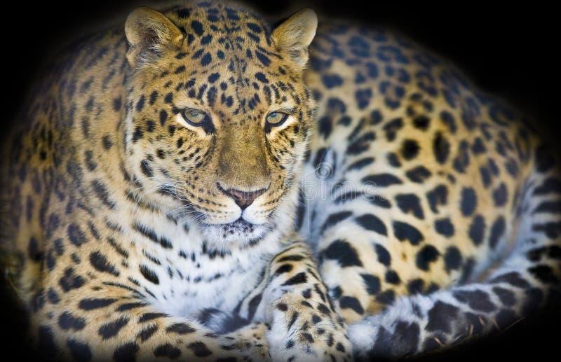 Leopardo en una cueva oscura imágenes de archivo libres de regalías
