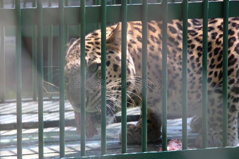 Leopardo enjaulado imagenes de archivo