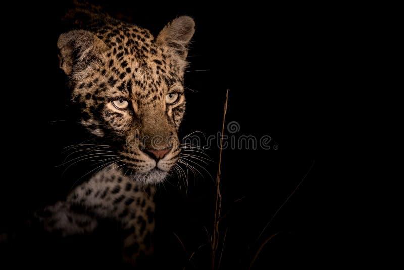 Leopardo evasivo alla notte immagini stock