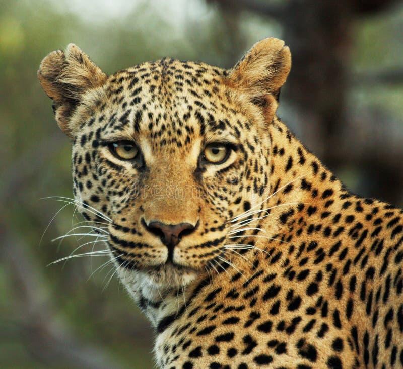 leopardo Férreo-eyed foto de stock royalty free