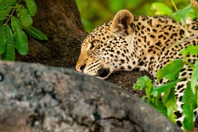Leopardo fêmea que senta-se em uma árvore que relaxa em Botswana em Chobe em África fotos de stock royalty free