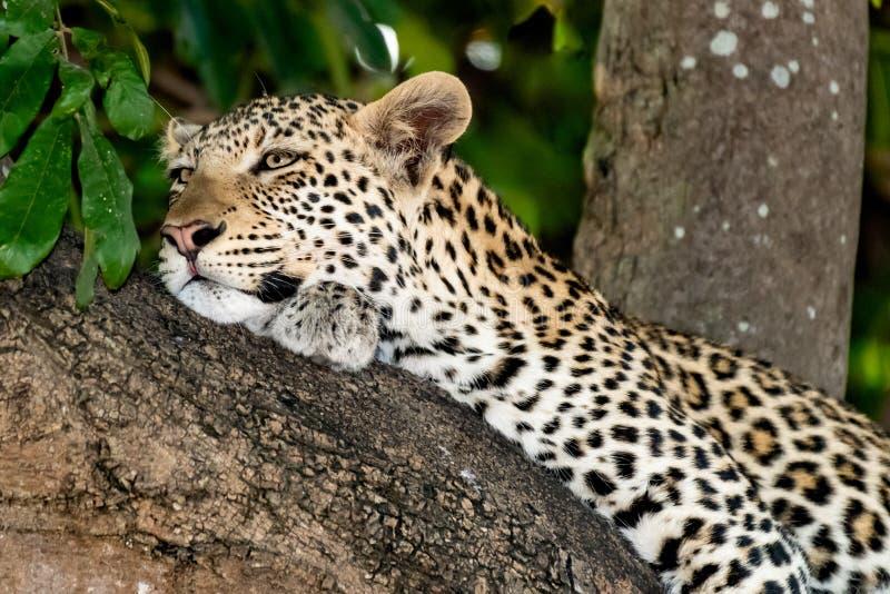 Leopardo fêmea que senta-se em uma árvore que relaxa em Botswana em Chobe em África foto de stock royalty free