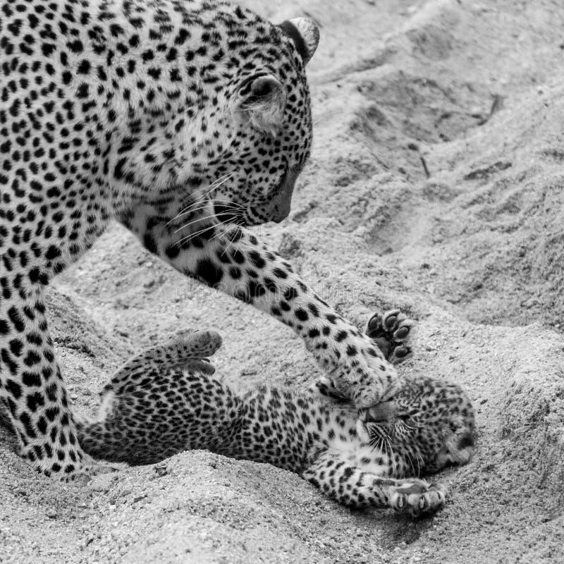 Leopardo f?mea adulto e filhote que jogam na areia no parque do safari de Sabi Sands, Kruger, ?frica do Sul imagem de stock