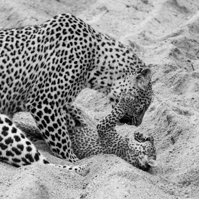Leopardo f?mea adulto e filhote que jogam na areia no parque do safari de Sabi Sands, Kruger, ?frica do Sul fotografia de stock