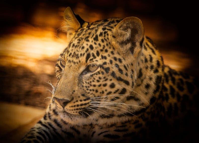 Leopardo, fauna selvatica, animale terrestre, Jaguar fotografie stock