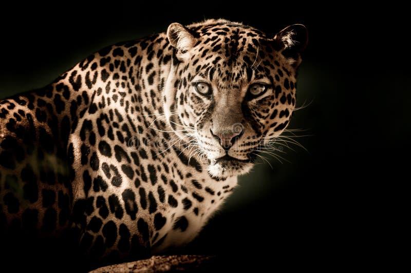Leopardo, fauna selvatica, Jaguar, animale terrestre fotografia stock