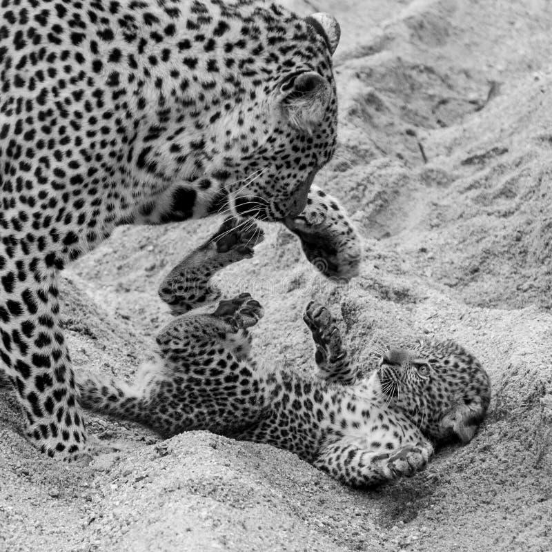 Leopardo femenino adulto y cachorro que juegan en la arena en el parque del safari de Sabi Sands, Kruger, Sur?frica fotografía de archivo
