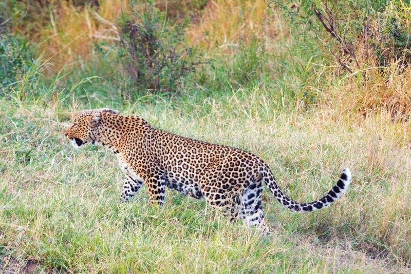 Leopardo femminile in masai Mara immagini stock