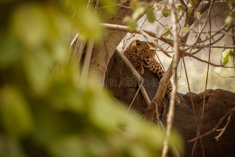 Leopardo indio en el hábitat de la naturaleza Reclinación del leopardo imagen de archivo