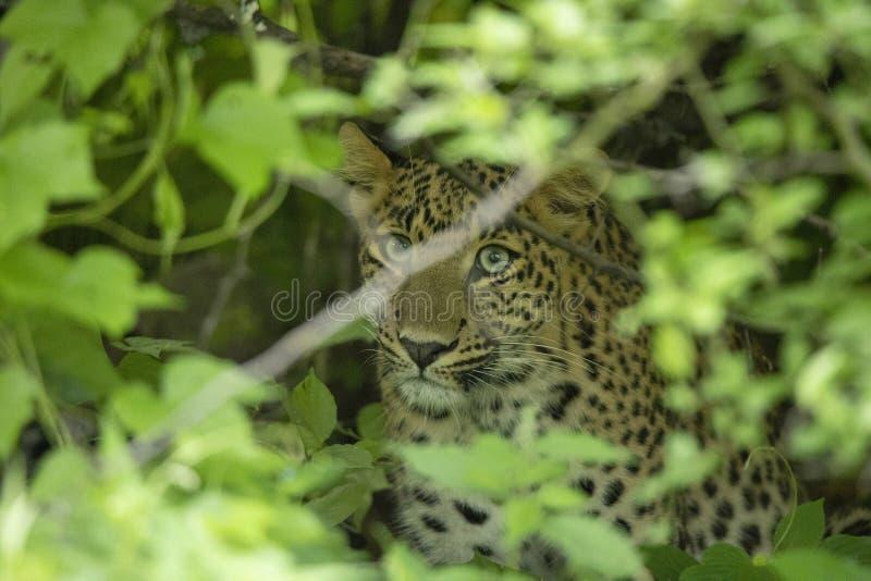 Leopardo indio, fusca del pardus del Panthera, Jhalana, Rajasthán, la India imagen de archivo