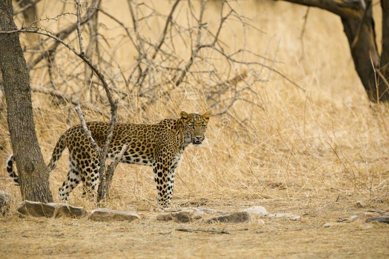 Leopardo indio, fusca del pardus del Panthera, Jhalana, Rajasthán, la India imagenes de archivo
