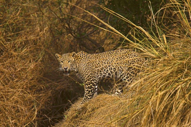 Leopardo indio, fusca del pardus del Panthera, Panna Tiger Reserve, Madhya Pradesh imagen de archivo libre de regalías