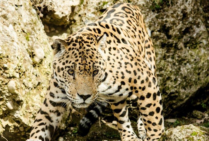 Leopardo, Jaguar, animal terrestre, animais selvagens foto de stock royalty free