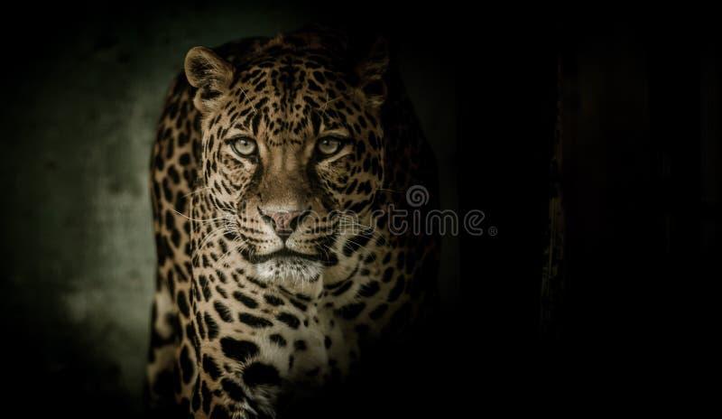 Leopardo, Jaguar, mamífero, animais selvagens imagem de stock