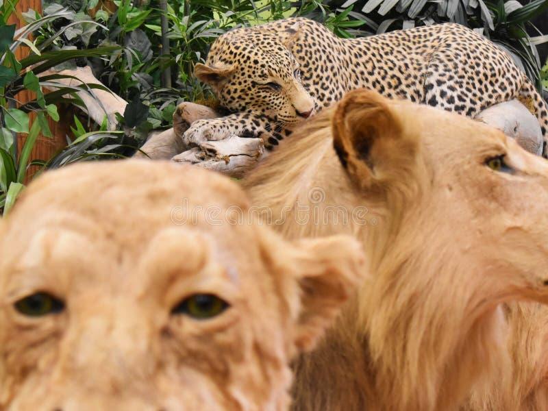 Leopardo manchado sono entre os leões imagem de stock royalty free