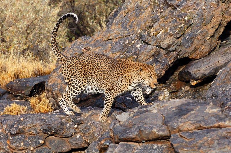 Leopardo maravilhoso em Namíbia fotos de stock royalty free