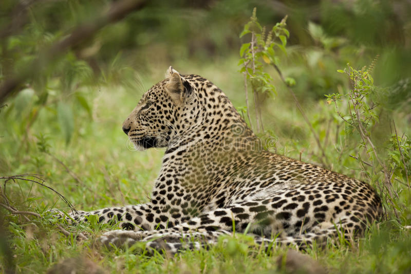 Leopardo in masai Mara fotografia stock libera da diritti