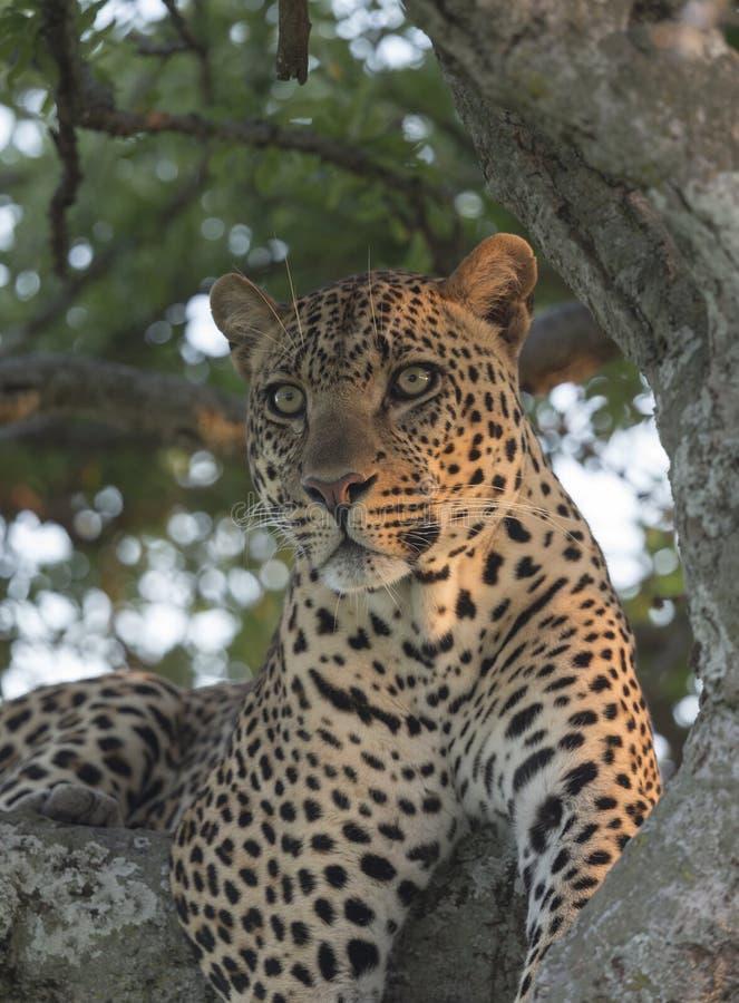 Leopardo maschio vigile che si siede su un albero nei masai Mara National Park della luce di sera fotografie stock libere da diritti