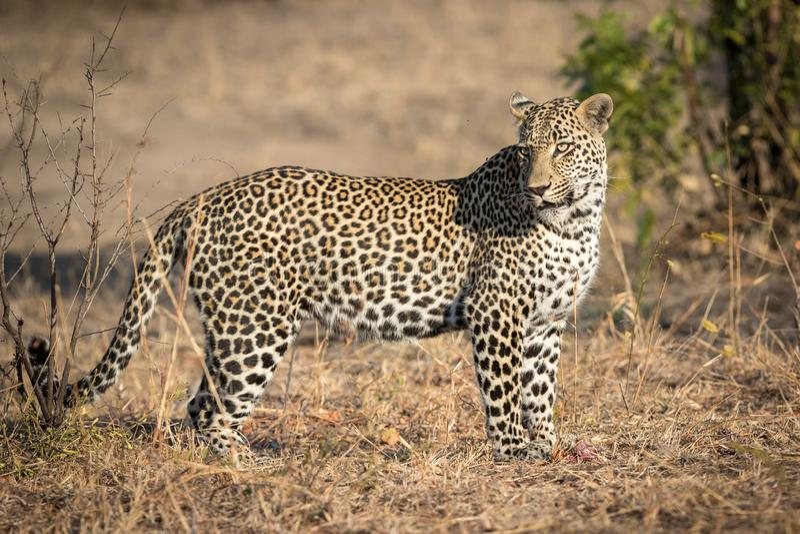 Leopardo masculino grande con los ojos hermosos fotografía de archivo libre de regalías