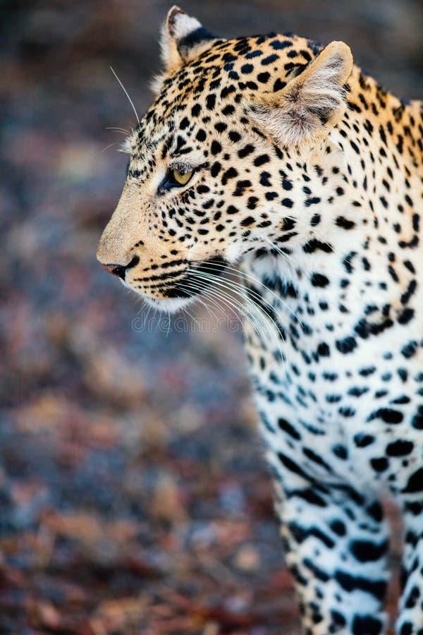 Leopardo masculino joven fotos de archivo
