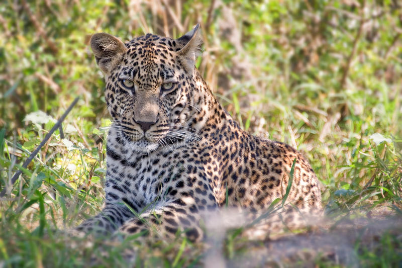 Leopardo masculino novo, África do Sul fotografia de stock