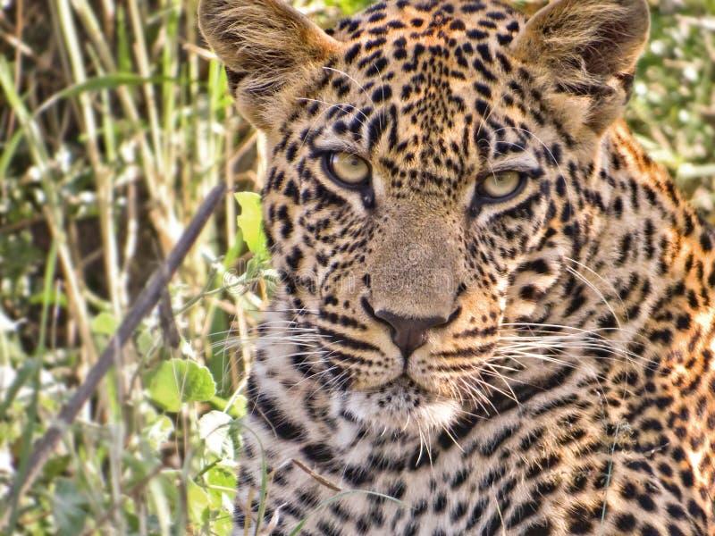 Leopardo masculino novo, África do Sul imagem de stock