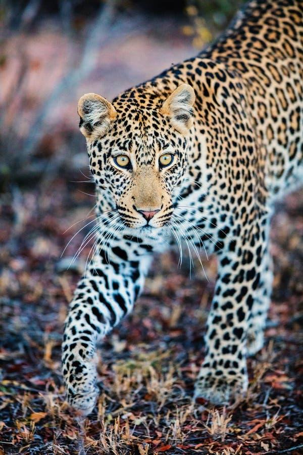 Leopardo masculino novo fotografia de stock royalty free