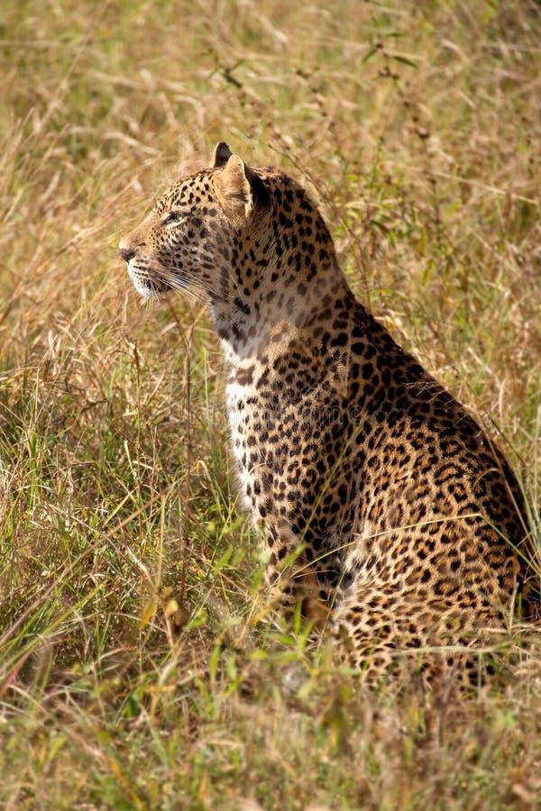 Leopardo masculino novo fotografia de stock