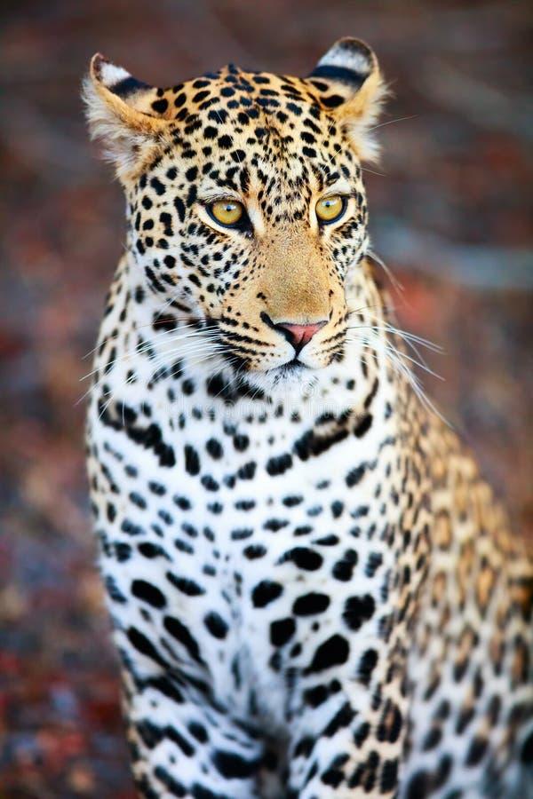 Leopardo masculino novo fotos de stock royalty free