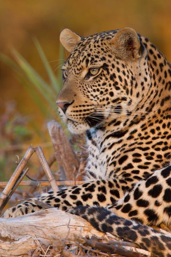Leopardo masculino novo no por do sol em uma filial caída fotos de stock