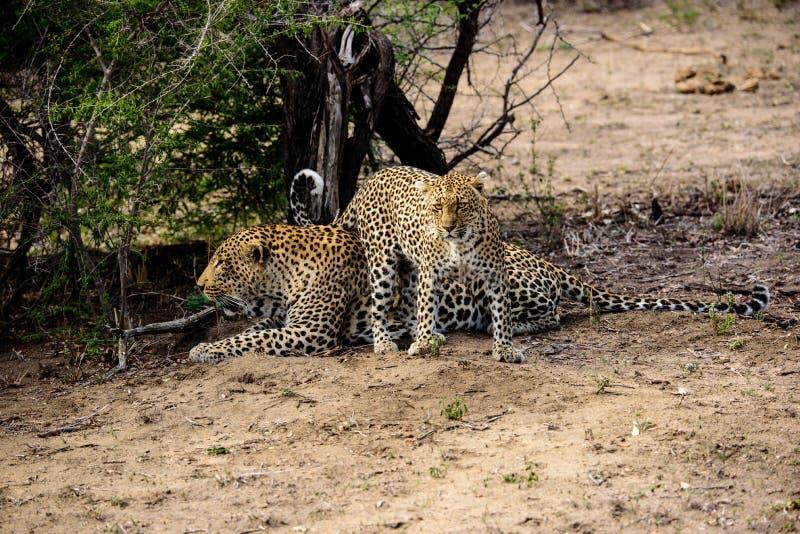 Leopardo masculino y femenino fotos de archivo