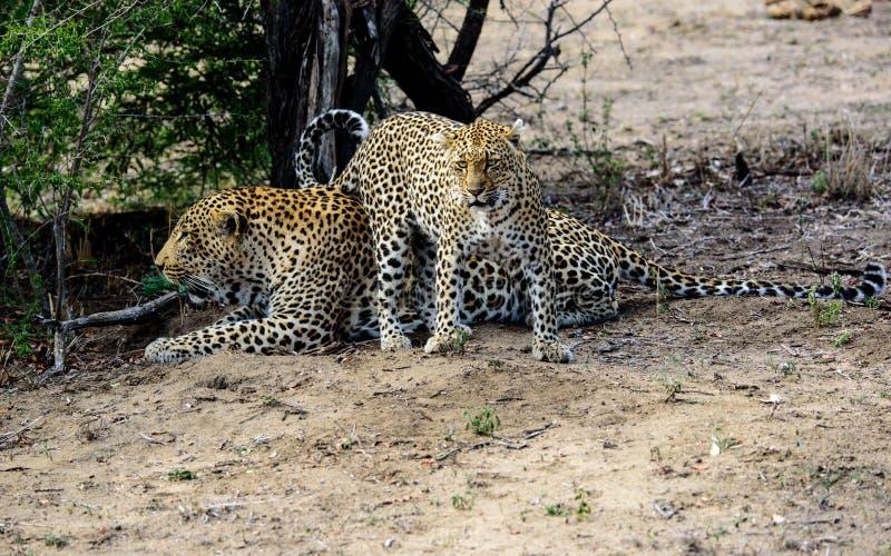 Leopardo masculino y femenino foto de archivo libre de regalías