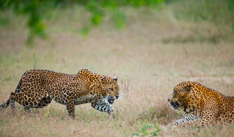 Leopardo masculino y femenino en la hierba junto El período de acoplamiento Sri Lanka imagen de archivo libre de regalías