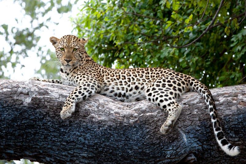 Leopardo na árvore, Botswana, África Leopardo observador no delta enorme de Okavango do tronco de árvore, Botswana imagens de stock