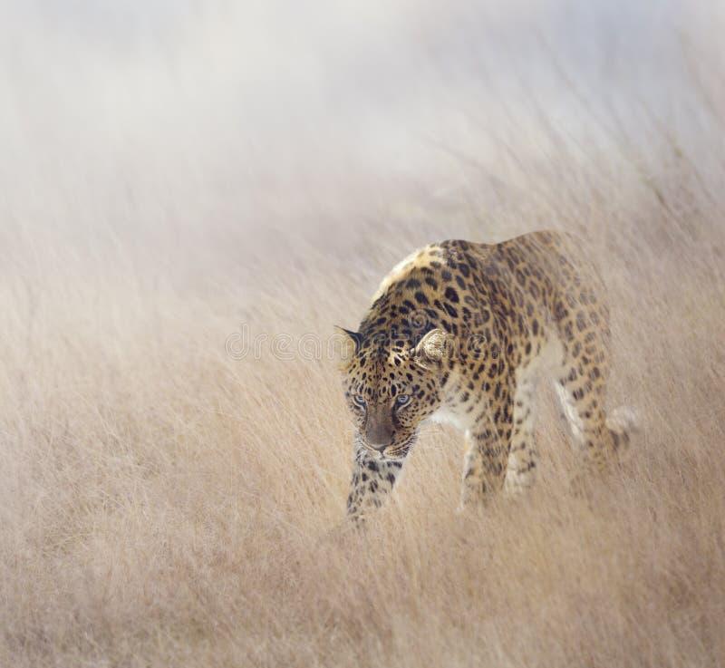 Download Leopardo na grama imagem de stock. Imagem de animal, grande - 65580333