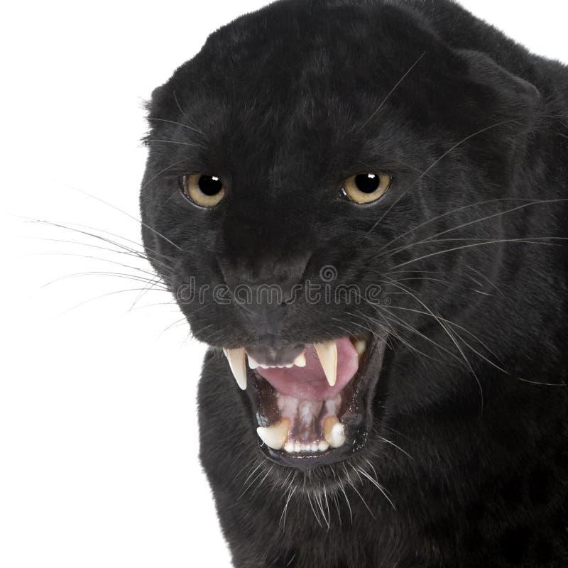 Leopardo negro (6 años) imagen de archivo