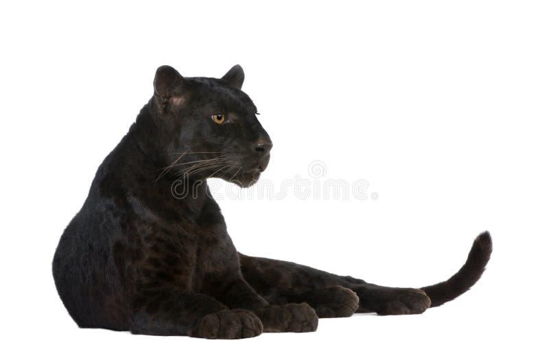 Leopardo negro (6 años) fotos de archivo